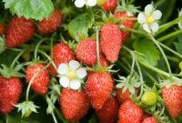 tanaman hias buah dataran tinggi 200x135 » Ragam Pilihan Tanaman Hias Buah untuk Dataran Tinggi